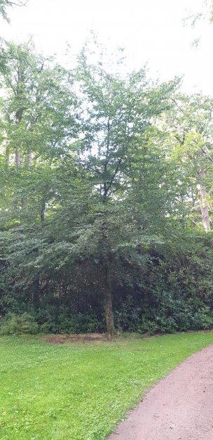 """Baum Nr. 205 """"Buche"""""""