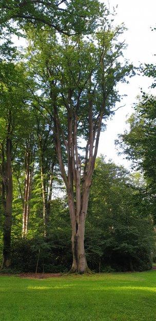 """Baum Nr. 208 """"Buche"""""""