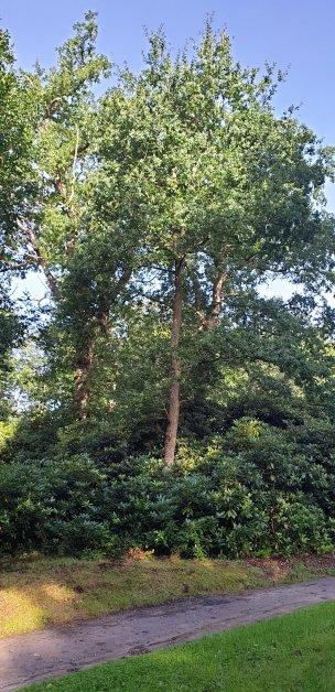 """Baum Nr. 209 """"Eiche"""""""