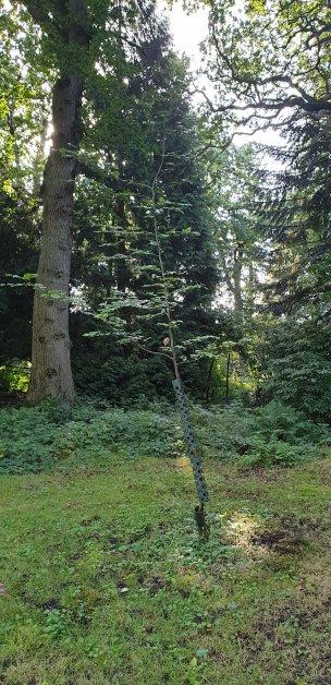 """Baum Nr. 210 """"Buche"""""""