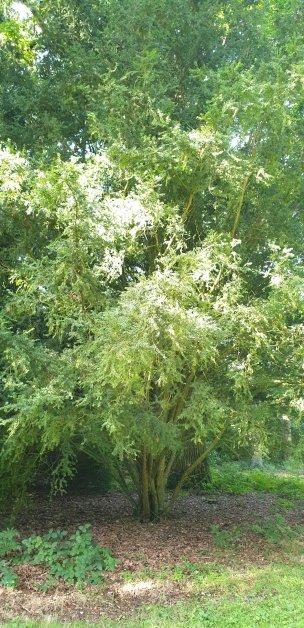 """Baum Nr. 211 """"Eibe"""""""
