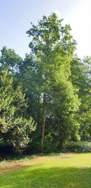 """Baum Nr. 213 """"Eiche"""""""