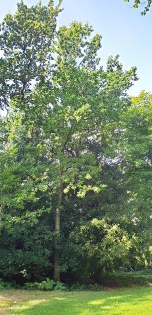"""Baum Nr. 214 """"Eiche"""""""