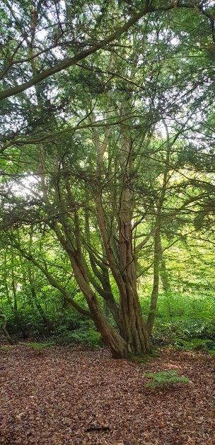"""Baum Nr. 215 """"Eibe"""""""