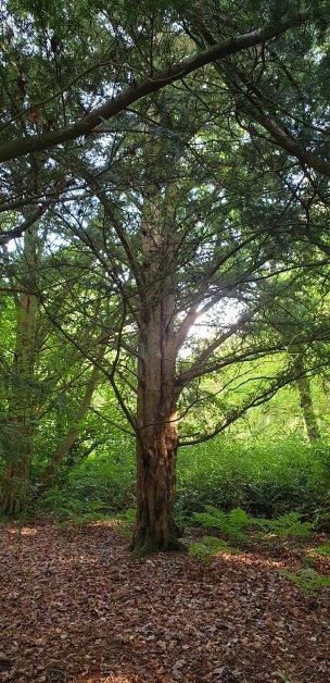 """Baum Nr. 216 """"Eibe"""""""
