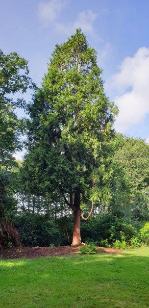 """Baum Nr. 217 """"Hibalebensbaum"""""""