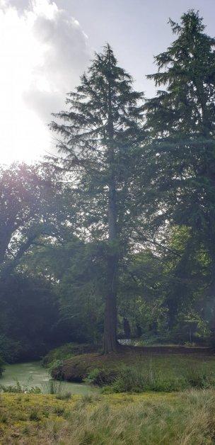 "Baum Nr. 219 ""Hemlocktanne"""