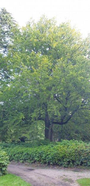 """Baum Nr. 220 """"Buche"""""""