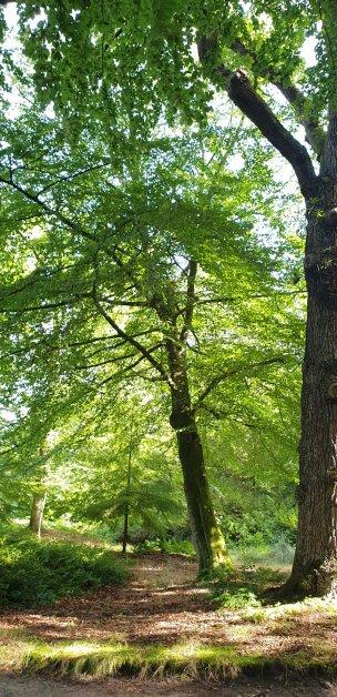 """Baum Nr. 223 """"Buche"""""""