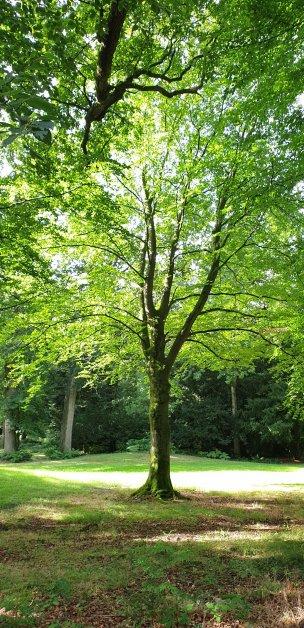 """Baum Nr. 227 """"Buche"""""""