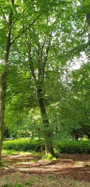"""Baum Nr. 229 """"Buche"""""""