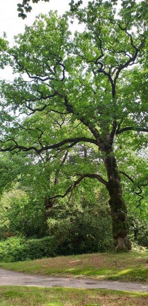 """Baum Nr. 230 """"Eiche"""""""