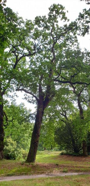 """Baum Nr. 231 """"Eiche"""""""