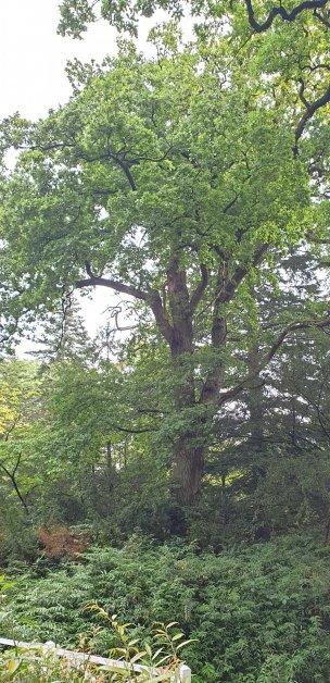 """Baum Nr. 232 """"Eiche"""""""