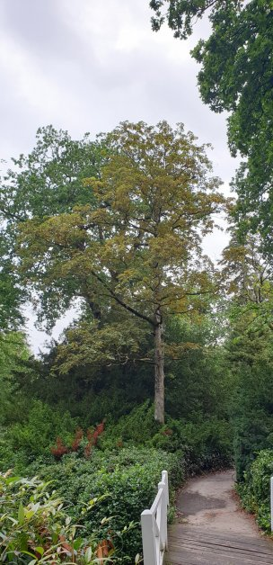 """Baum Nr. 233 """"Bergahorn"""""""