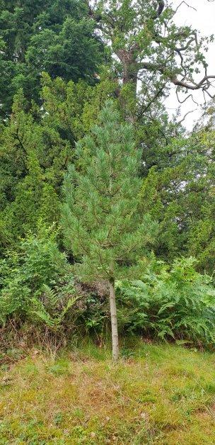 """Baum Nr. 237 """"Sibirische Zirbelkiefer"""""""