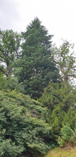 "Baum Nr. 238 ""Hemlocktanne"""