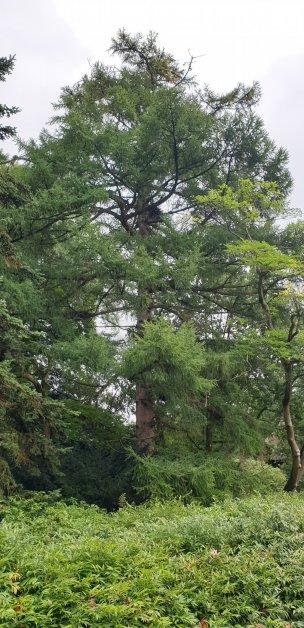 "Baum Nr. 239 ""Europäische Lärche"""