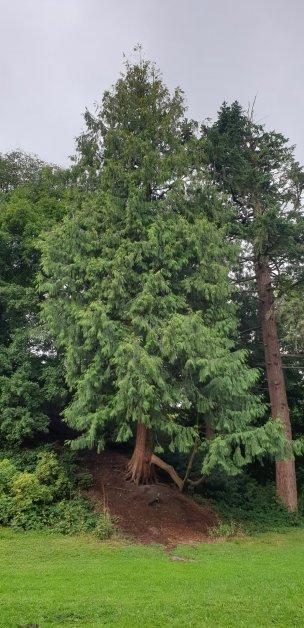 """Baum Nr. 240 """"Riesenlebensbaum"""""""