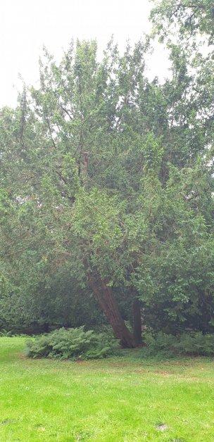 """Baum Nr. 241 """"Eibe"""""""