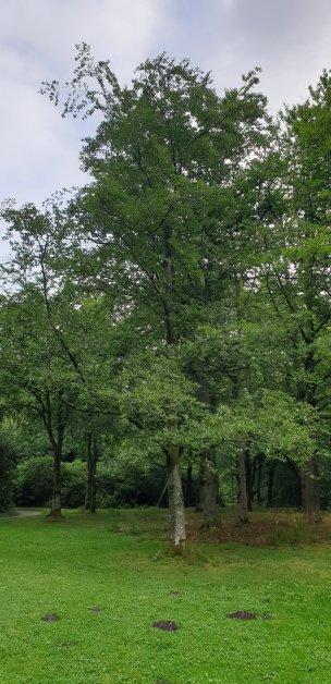 """Baum Nr. 242 """"Buche"""""""