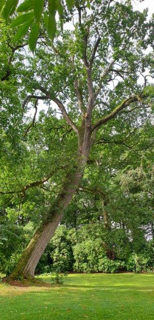 """Baum Nr. 243 """"Eiche"""""""