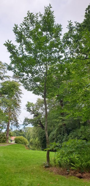 "Baum Nr. 244 ""Esskastanie"""