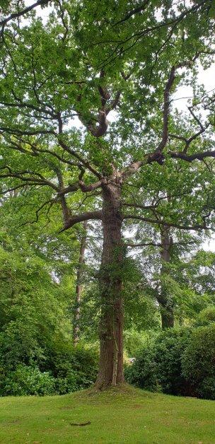 """Baum Nr. 246 """"Eiche"""""""