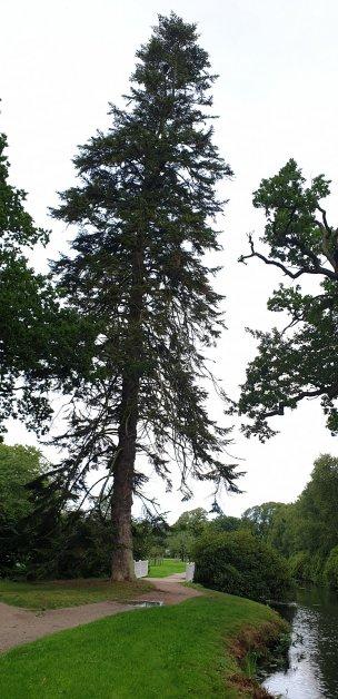 """Baum Nr. 247 """"Nordmanntanne"""""""