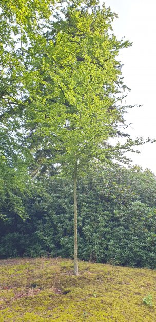 """Baum Nr. 178 """"Eiche"""""""