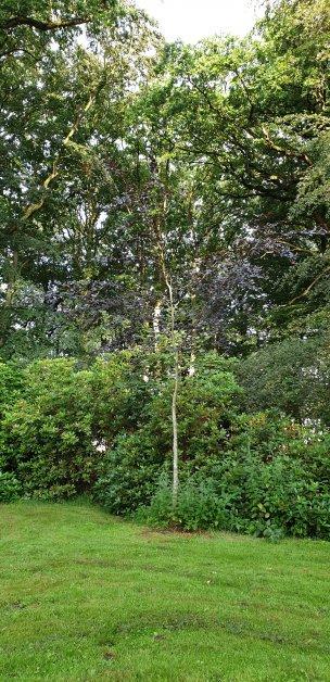 "Baum Nr. 179 ""Blutbuche"""
