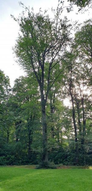 """Baum Nr. 180 """"Buche"""""""
